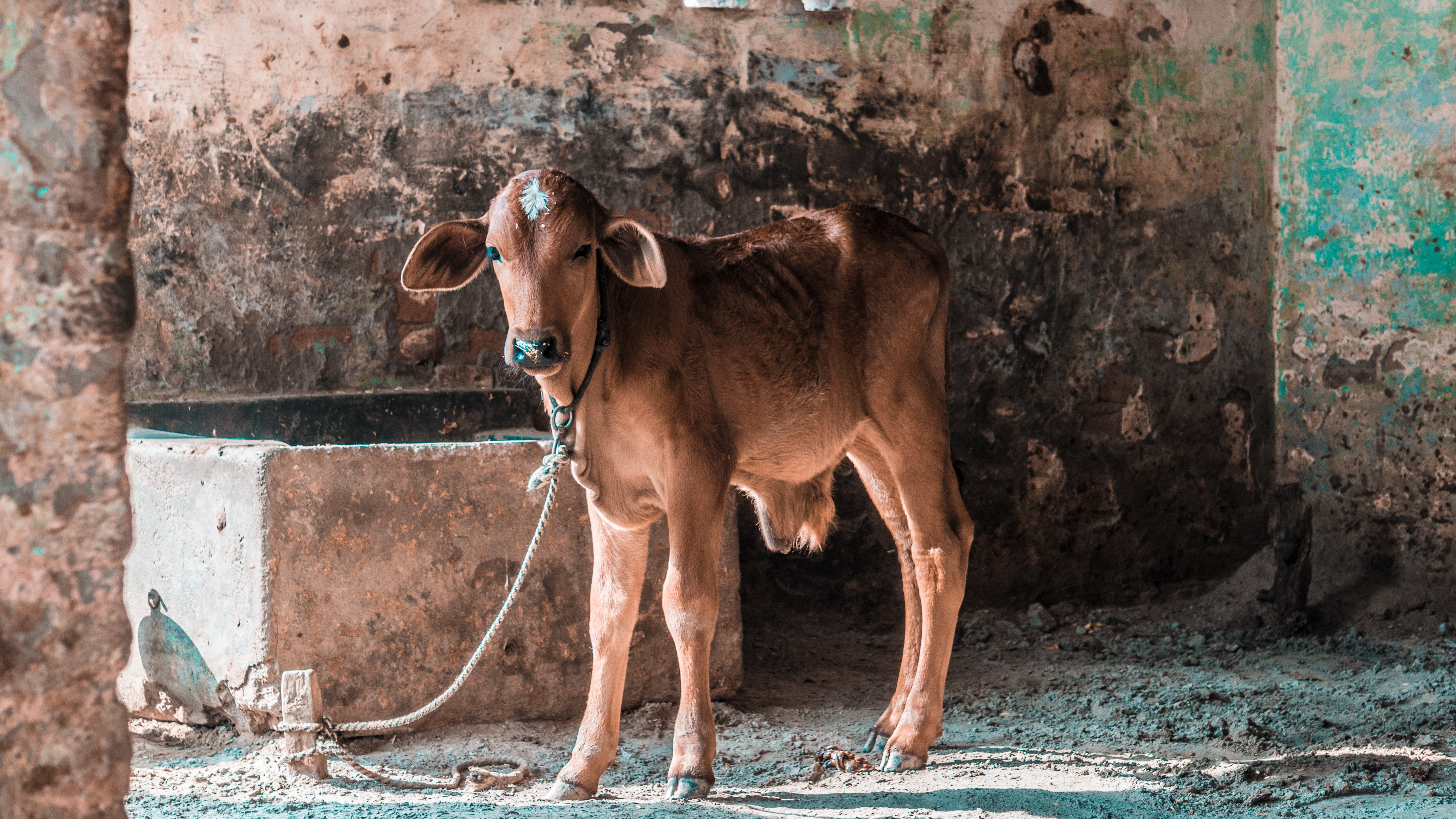 brown cow standing near concrete wall