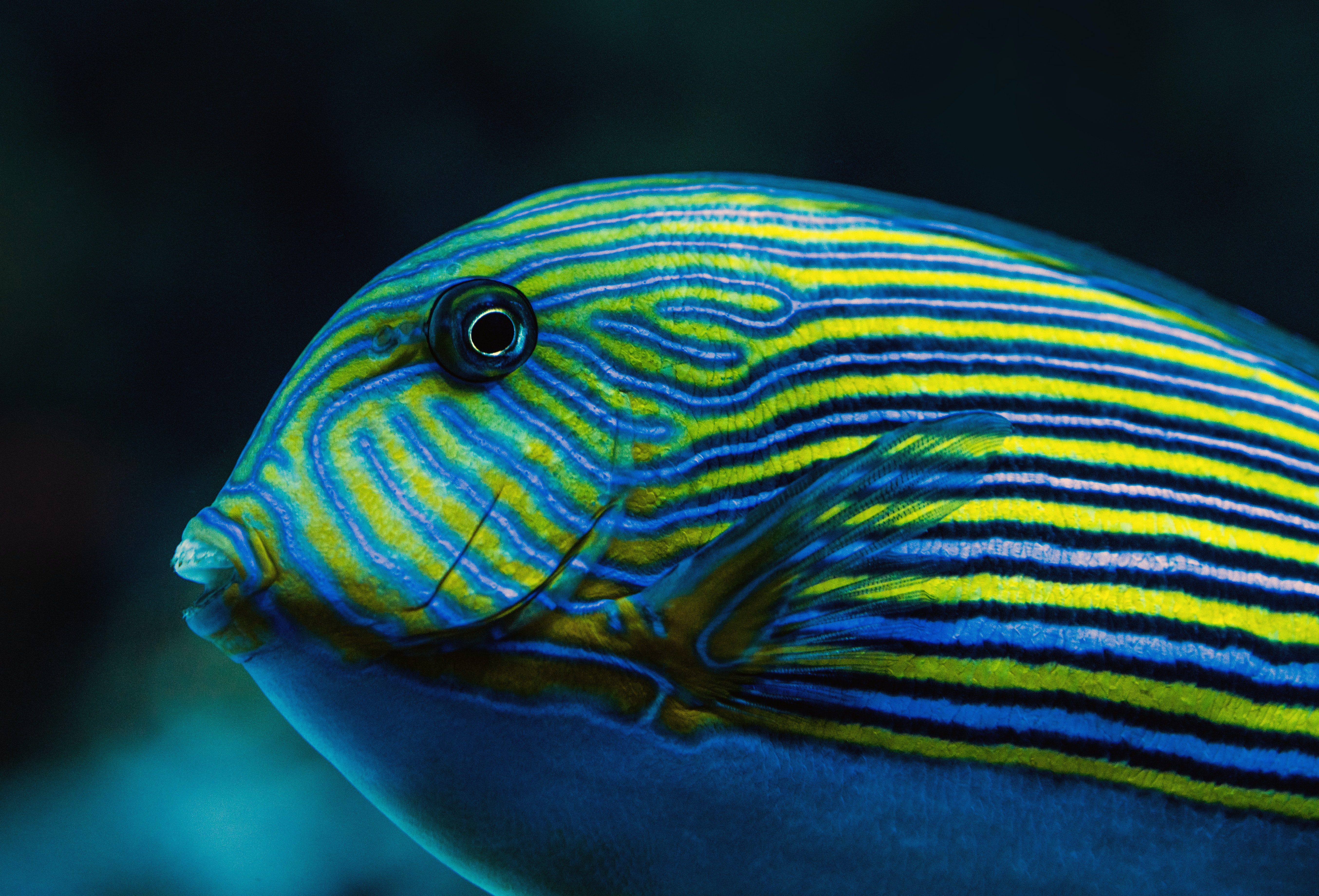 close-up photography blue and yellow striped fish