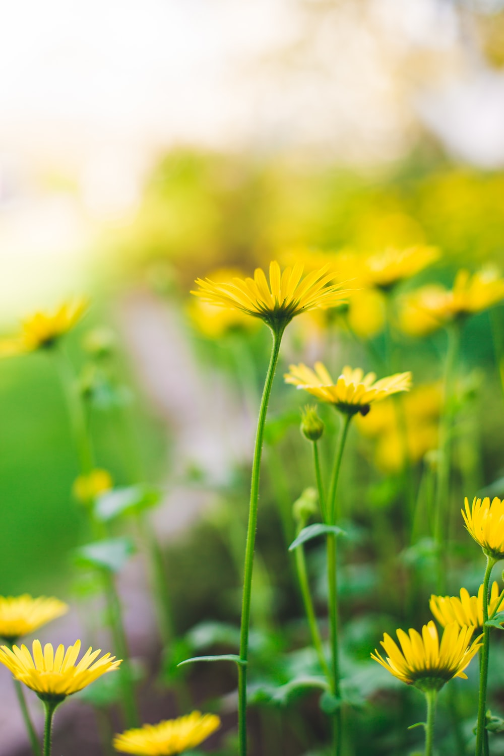 tilt shift photography of yellow daisies