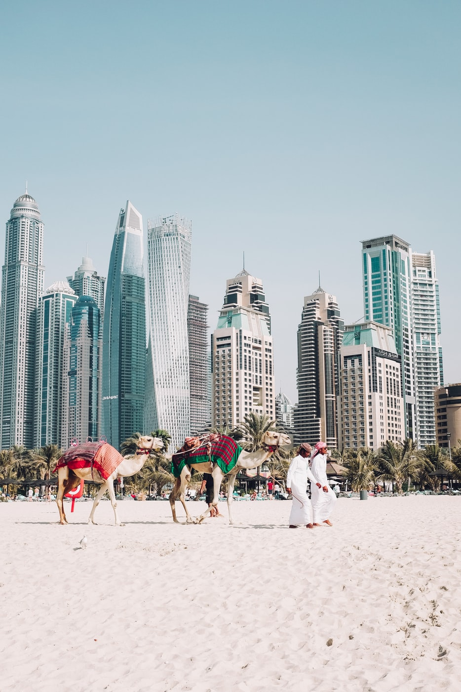 camels being walked on the beach in Dubai