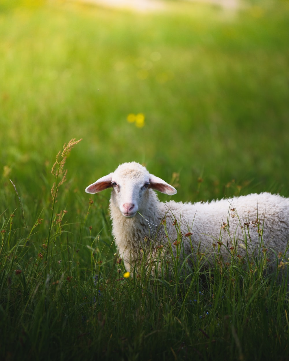 500 Sheep Images Download Free Pictures On Unsplash