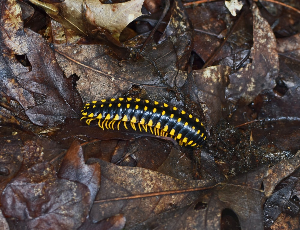 black and yellow caterpillar on dried leaf