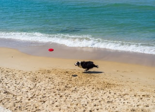 border collie running at the seashore during daytime