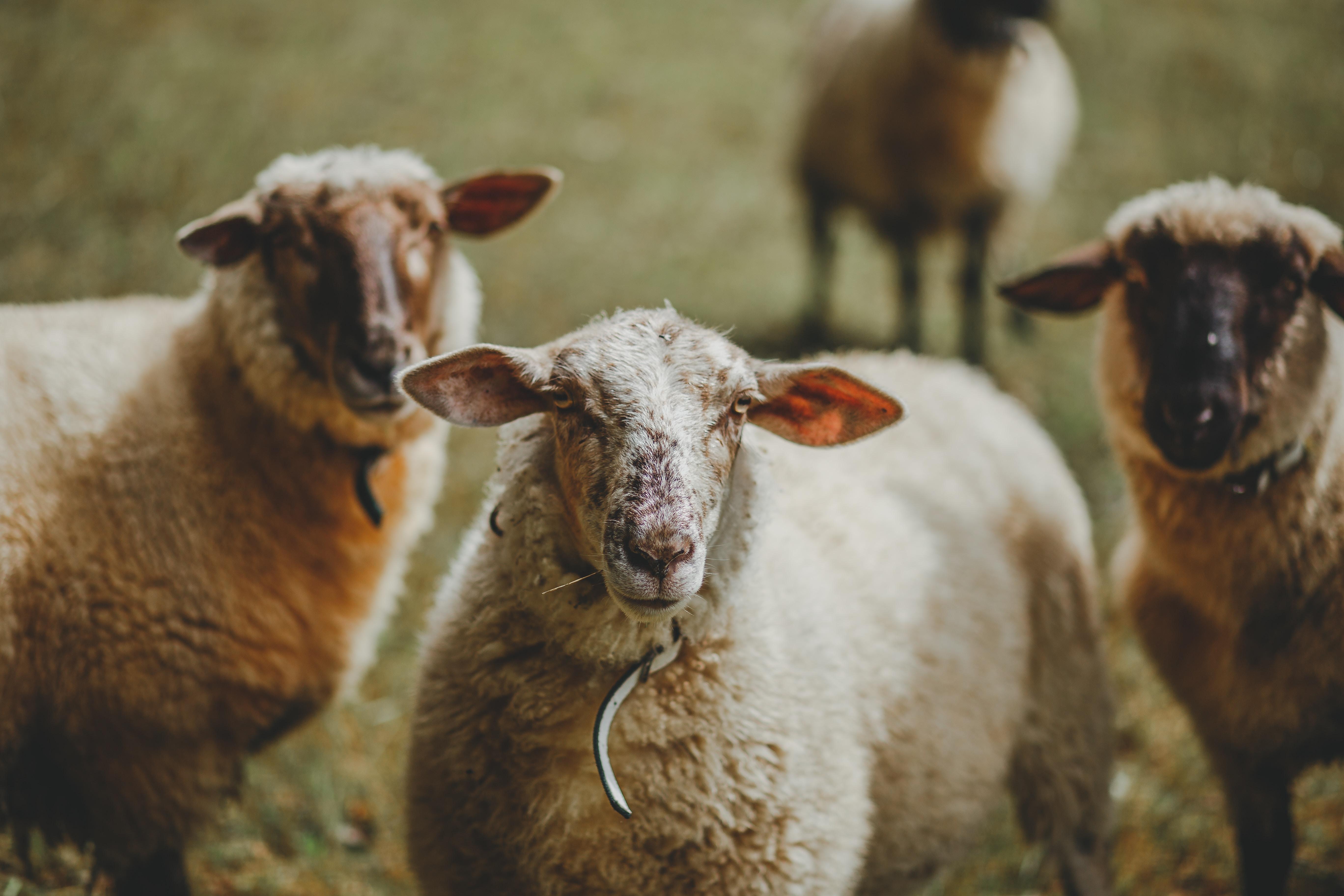 three white sheeps standing on grass field