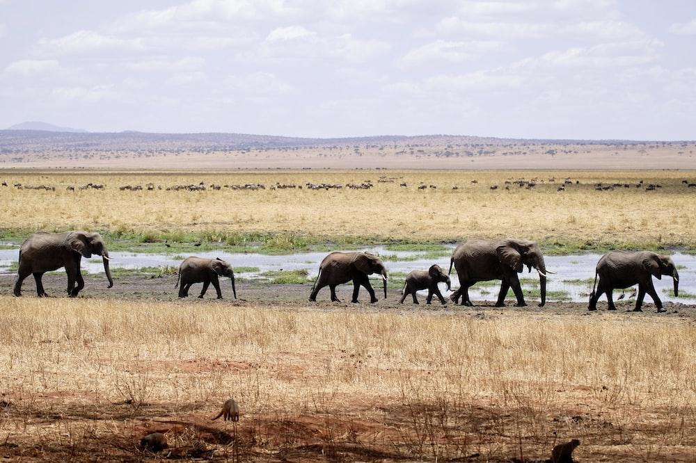 herd of gray elephants