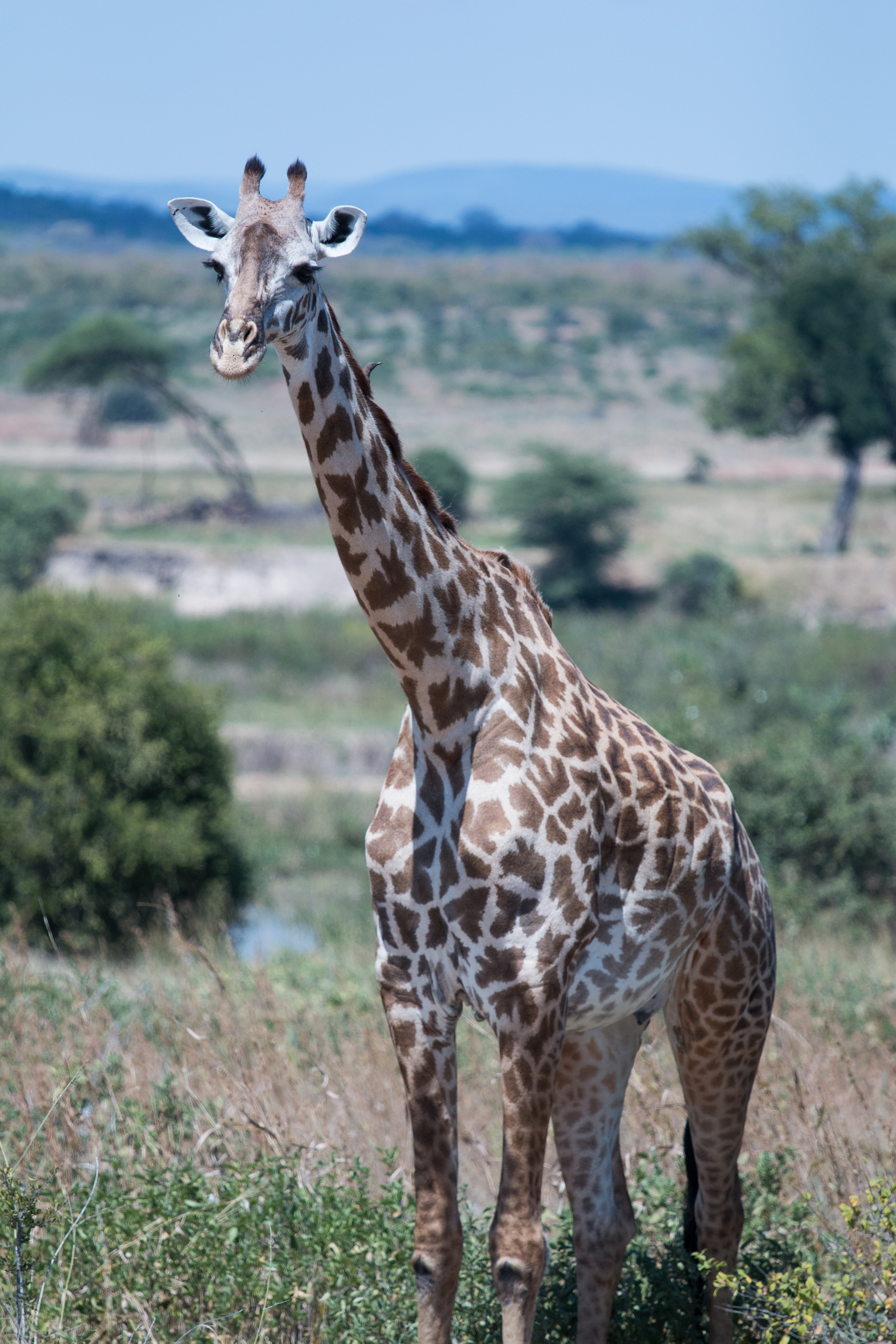 giraffe on field of grass
