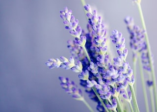 close-up photo of lavender