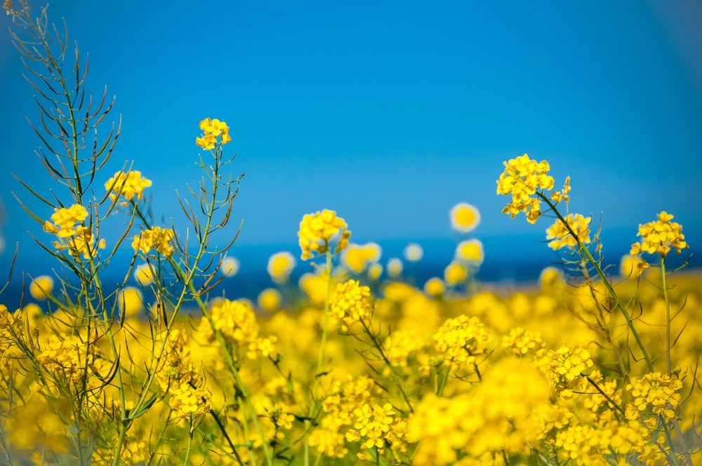 yellow flower field bloom at daytime