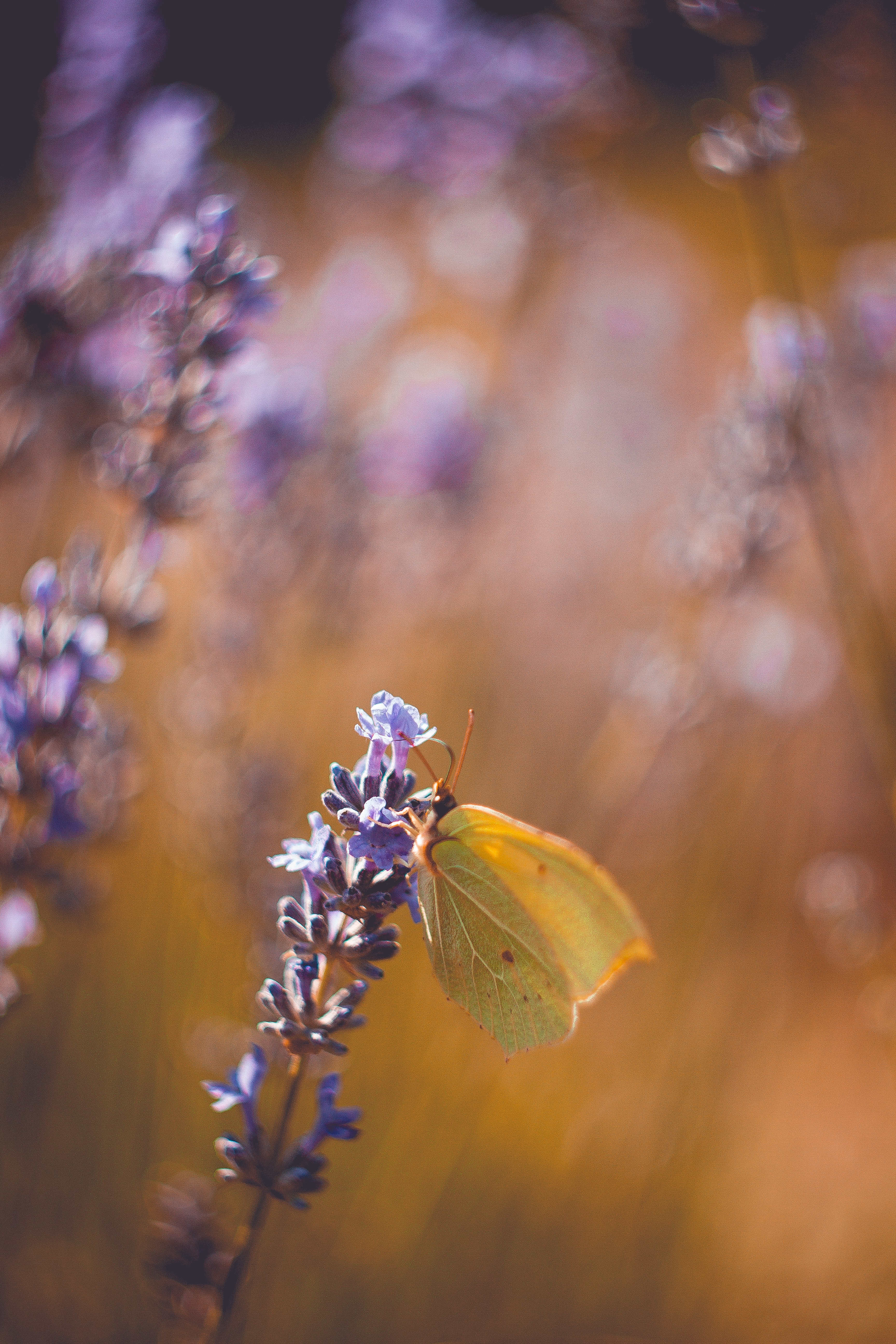 depth of field photography of brown butterfly birching on purple petaled flower