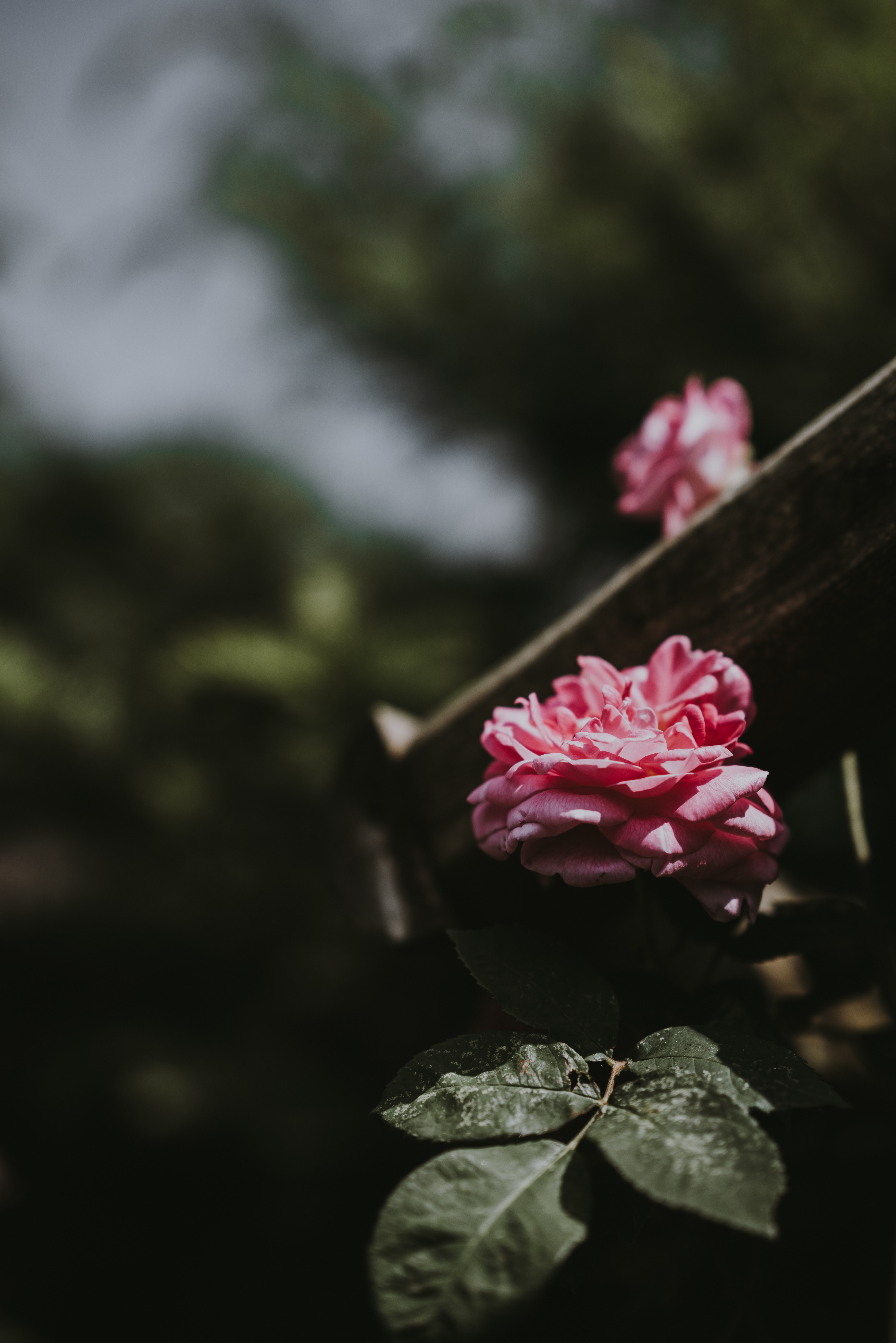 focus photography of pink roses