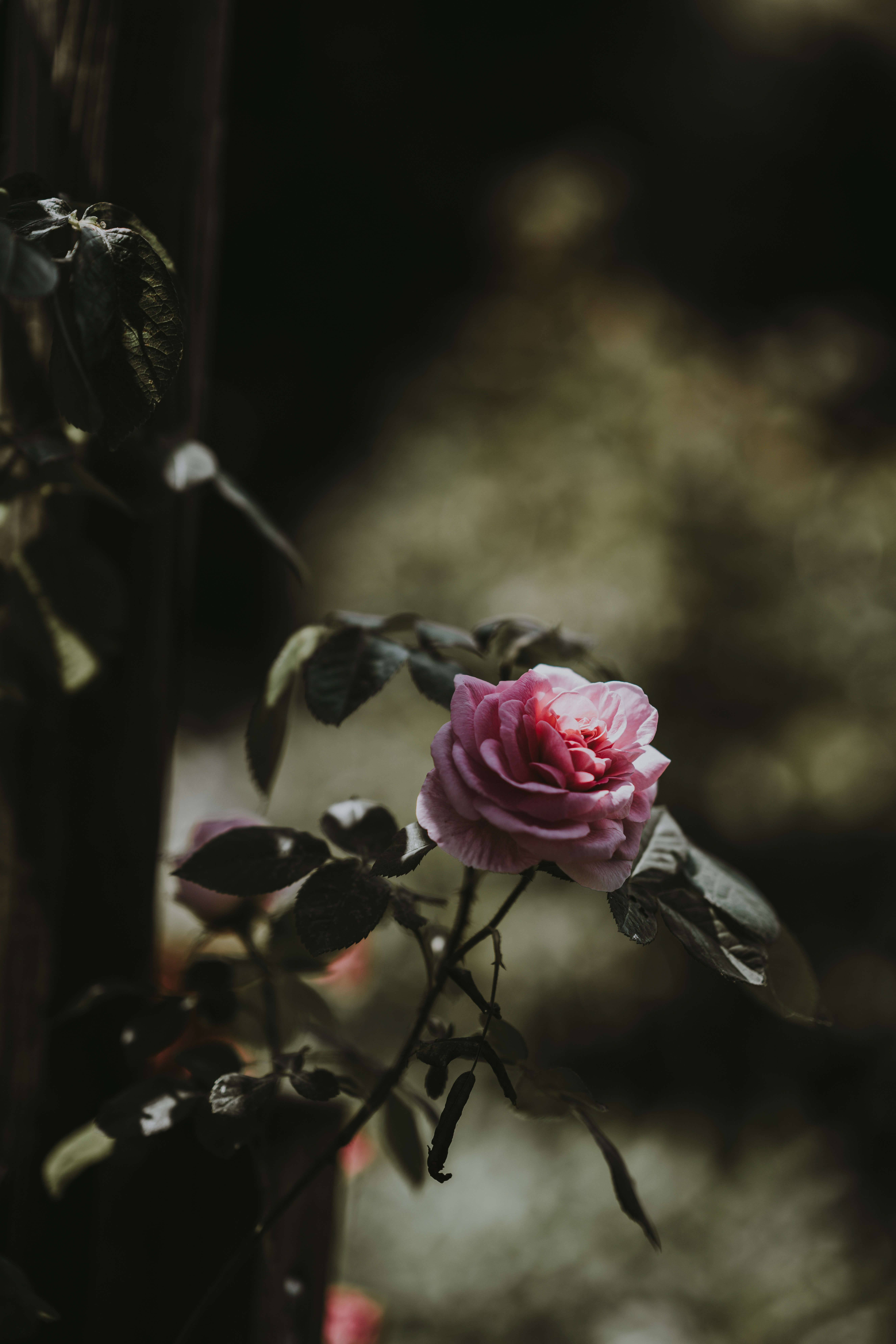 selective focus photography of pink rose