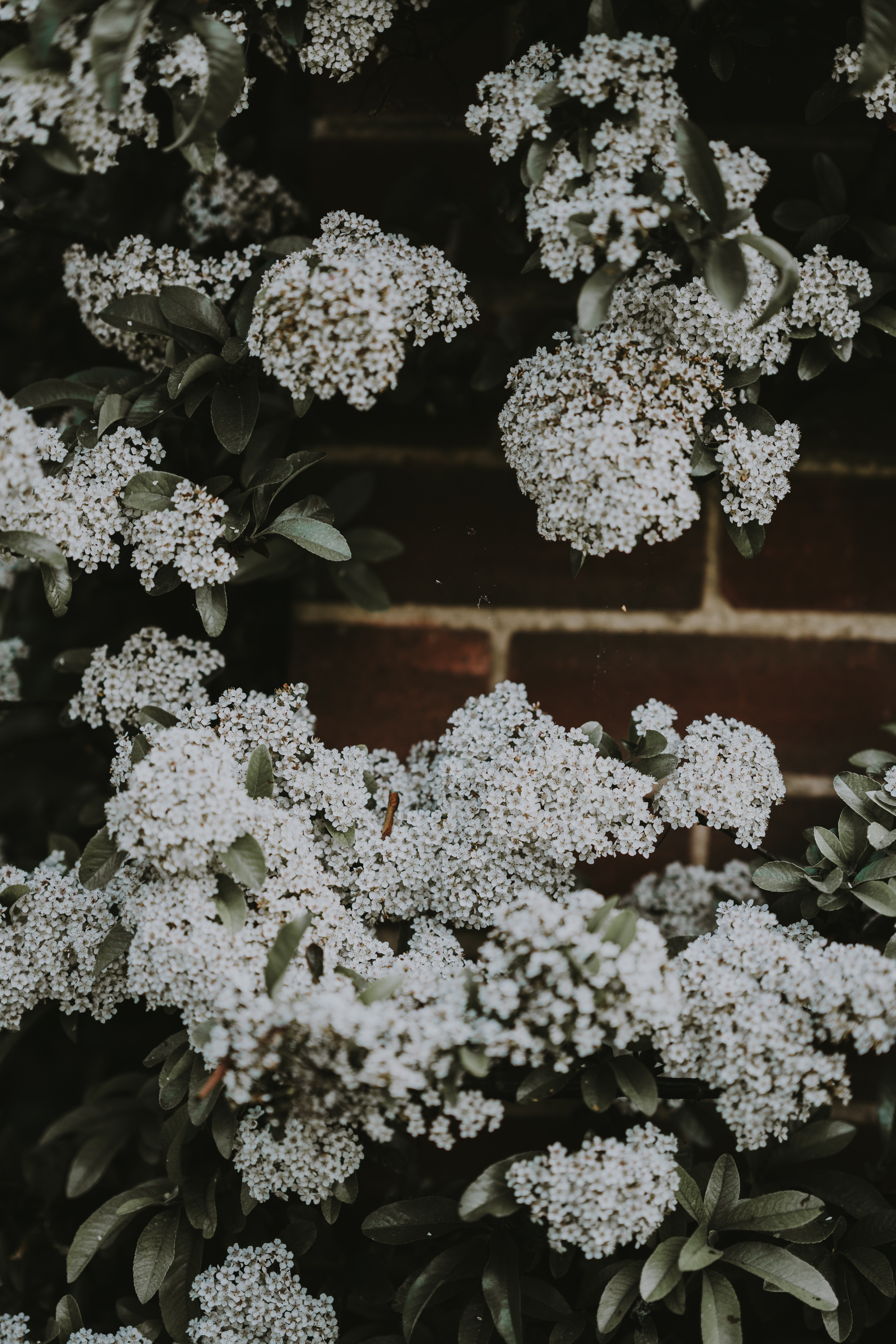 photo of white hydrangeas flowers