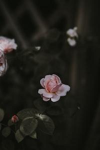 selective focus photo o pink rose