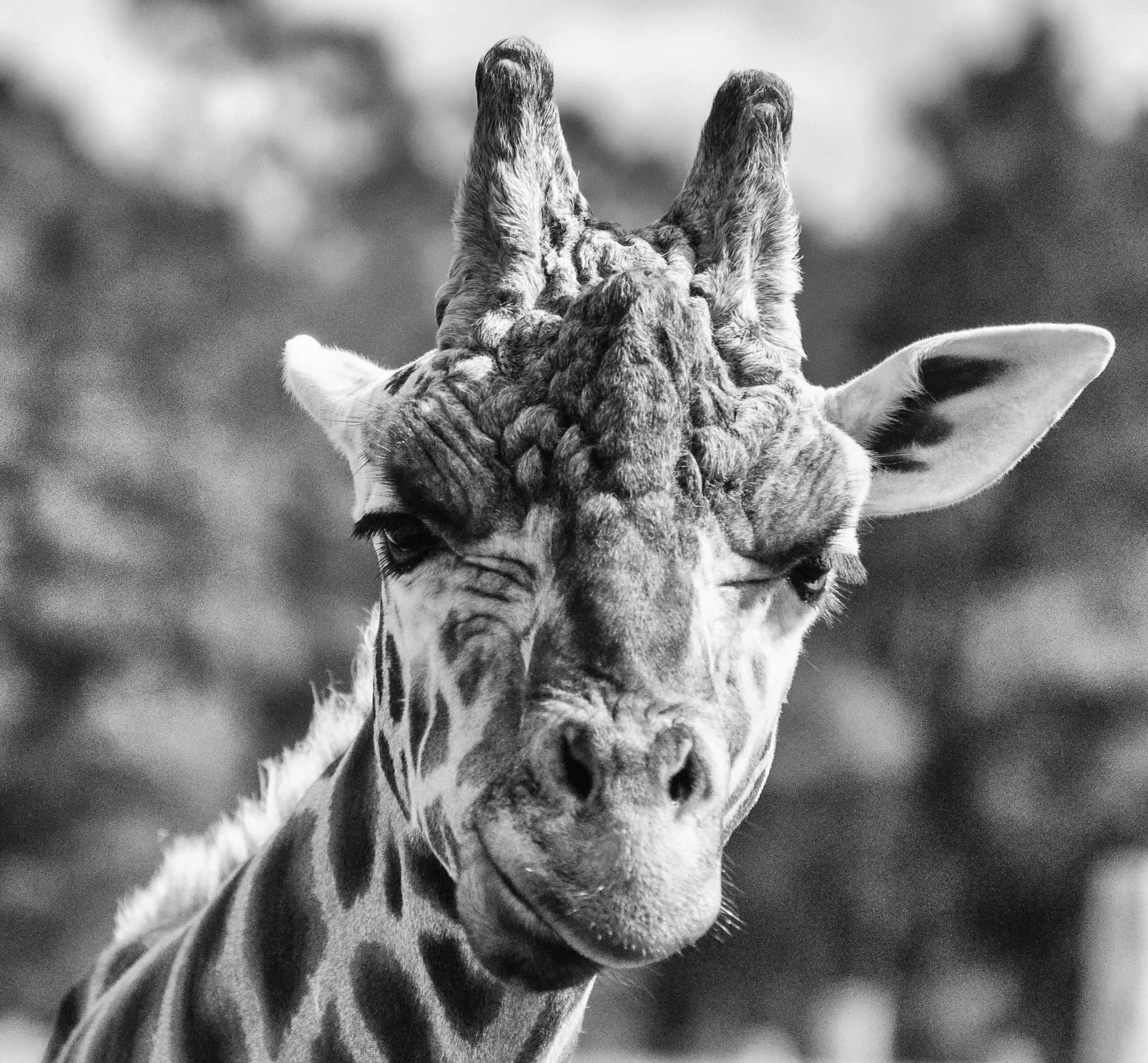 grayscale photography of giraffe face