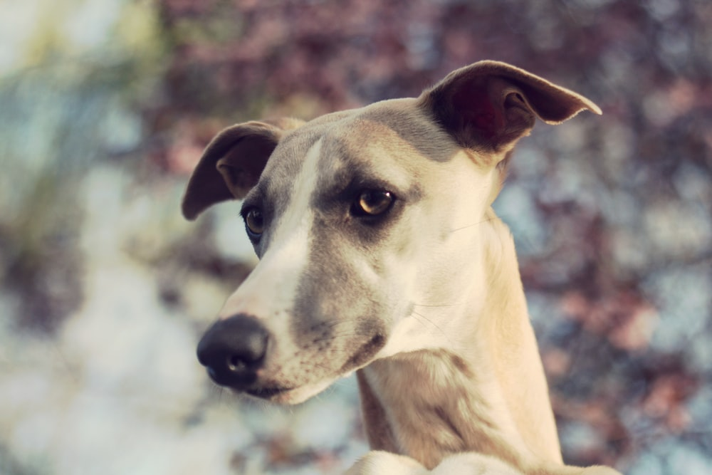 adult greyhound selective photography
