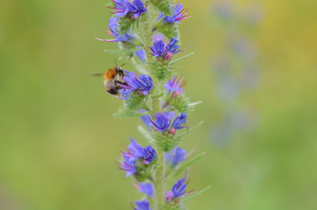 Bumblebee on the viper's bugloss