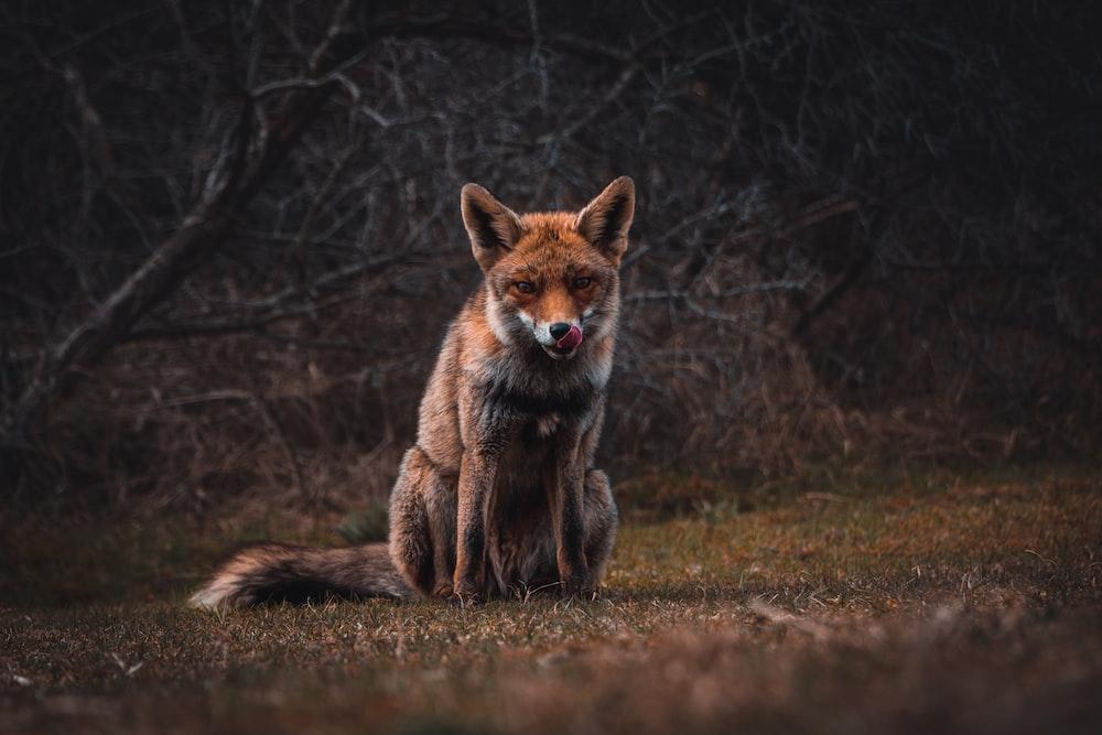 fox on grass field