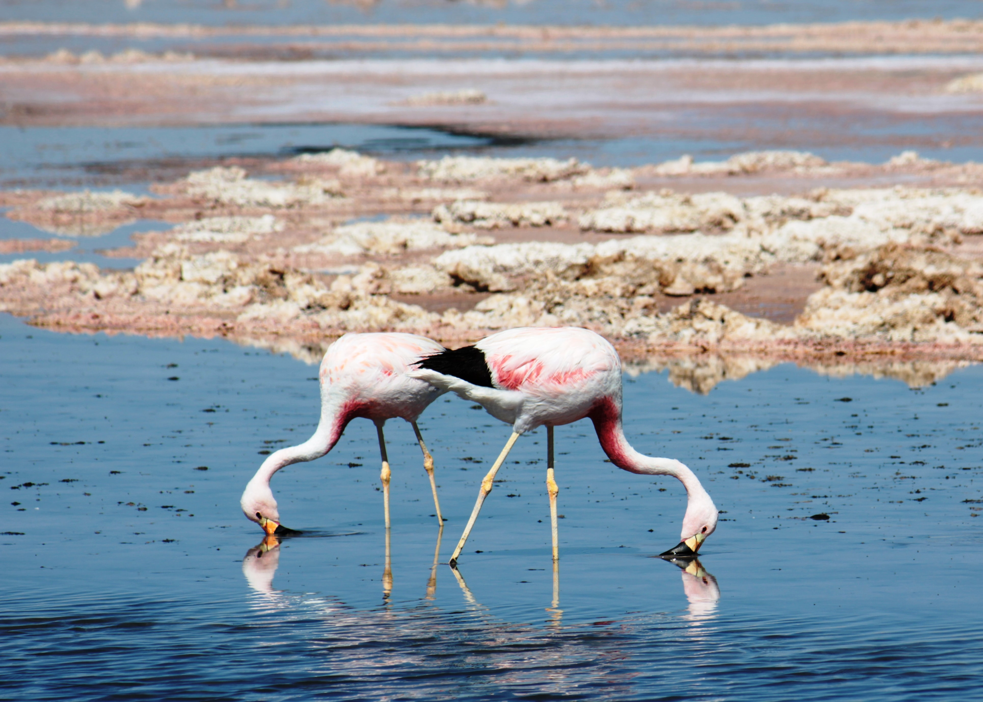 two flamingos getting food on water