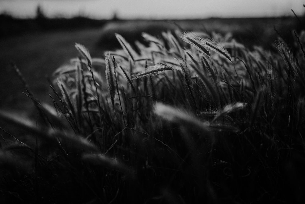 grayscale photography of grasses