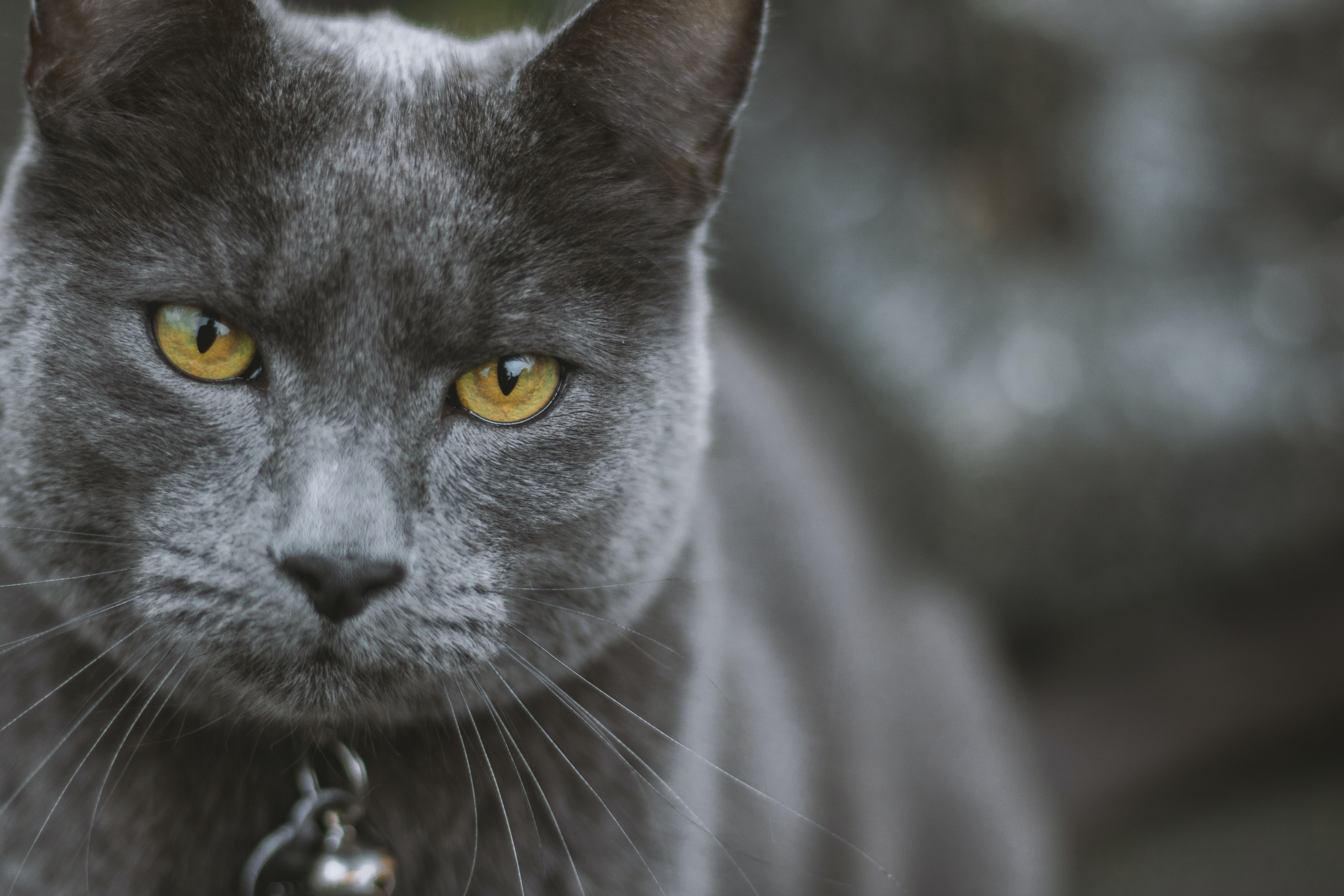 selective focus photo of Russian Blue cat