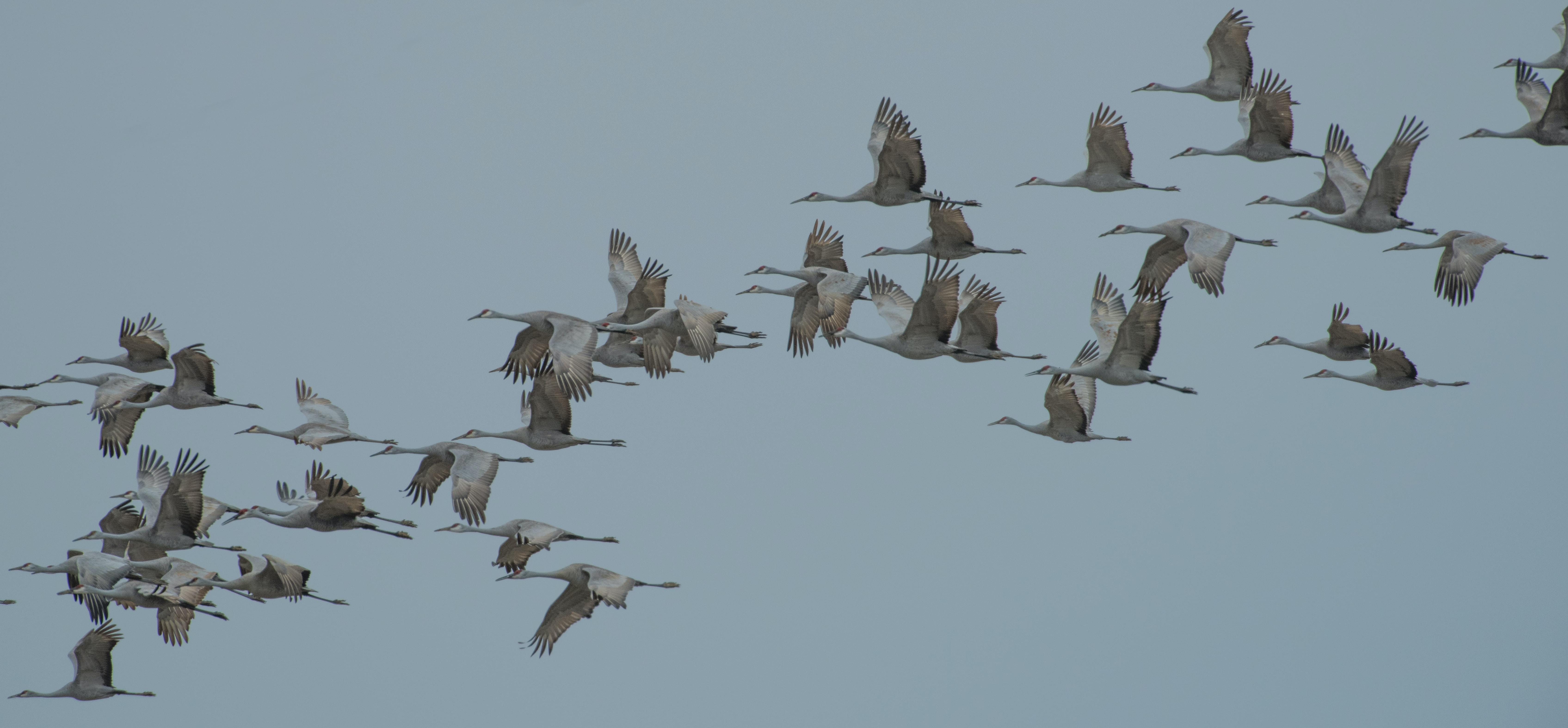 flock of flying geese