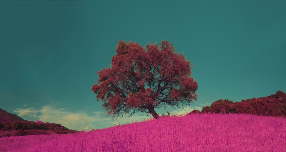 pink leafed tree under the blue sky