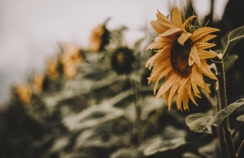 sunflower in bloom