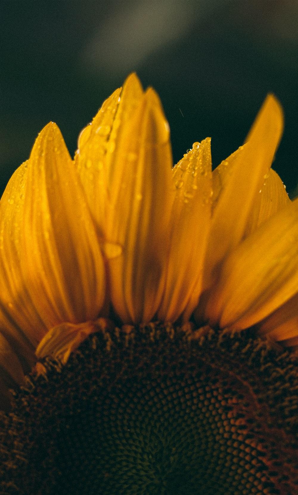 macro photography of yellow sunflower