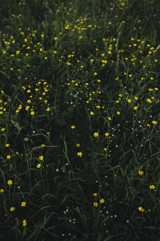 yellow flower plant field