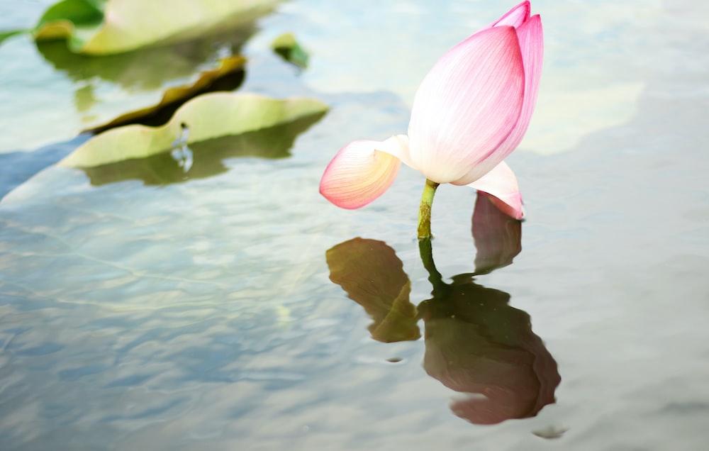 pink petaled flower in water