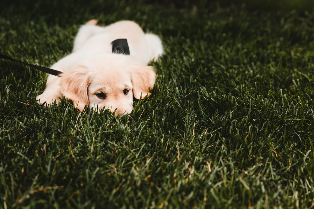 long-coated beige puppy lying on green grass