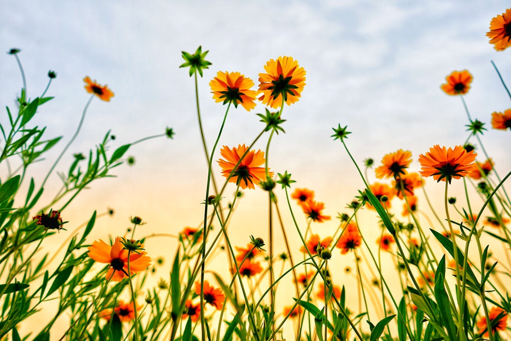 worm's eye view of petaled flowers