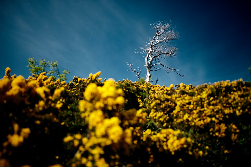 yellow flower field near bare tree under clear blue sky