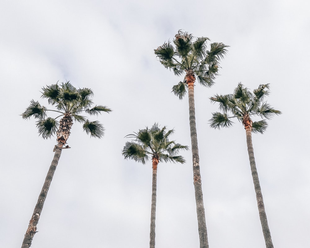 four fan palm trees under white sky