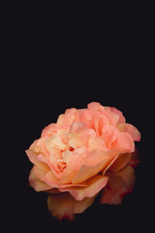 Flowers With Black Background 100 Best Free Black Flower Petal