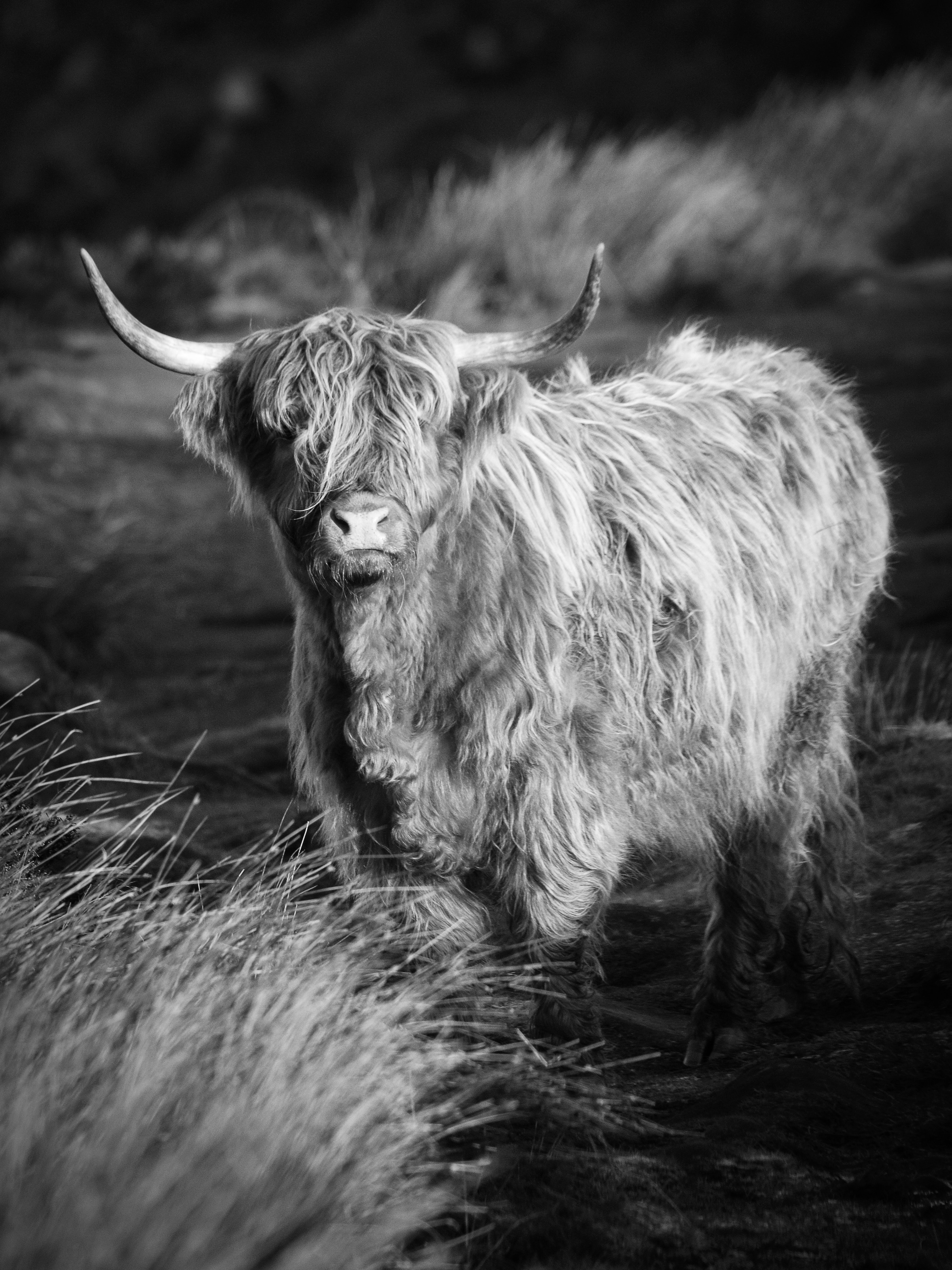 grayscale photography of Yak
