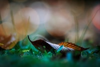selective focus photography of brown leaf on green grass