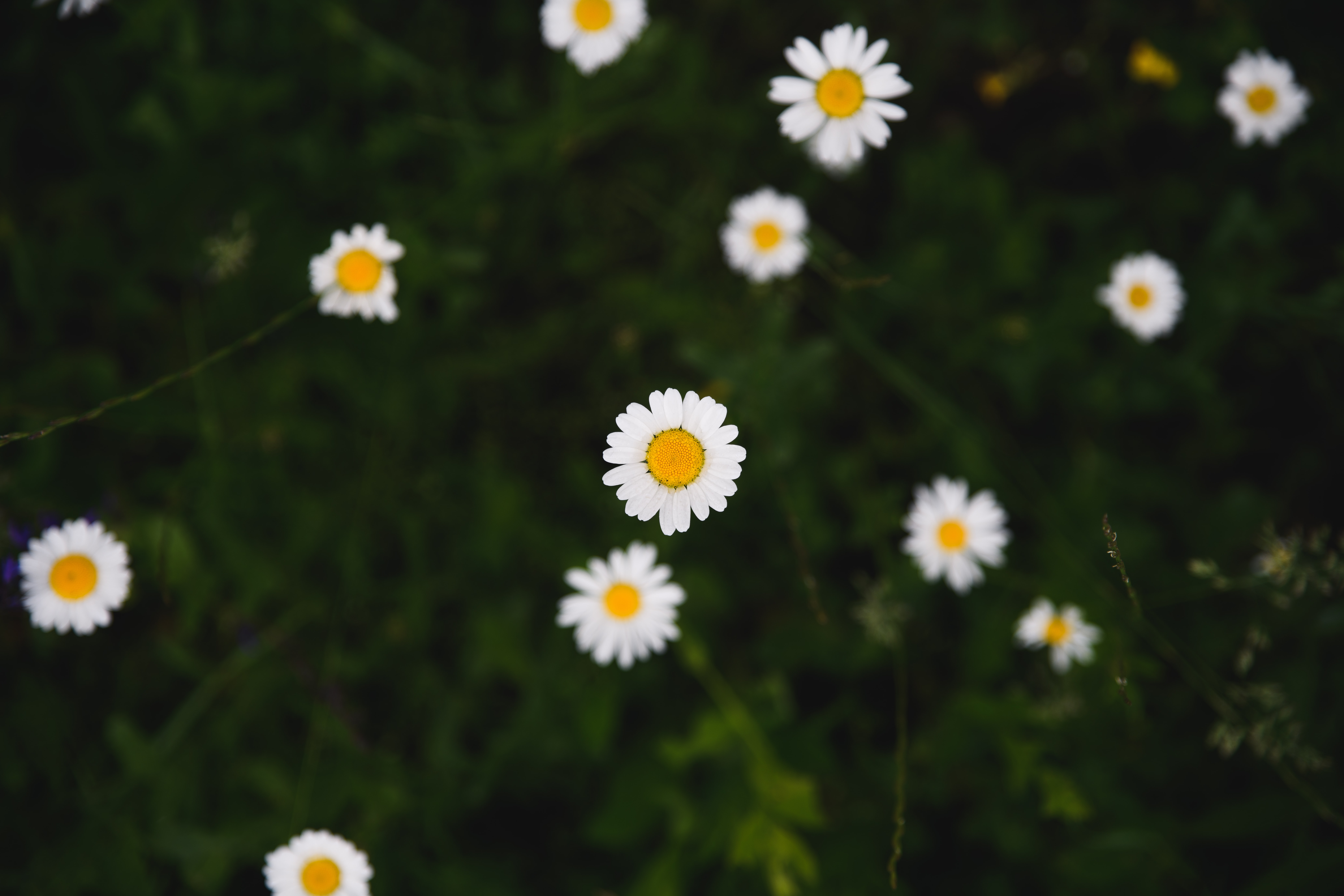 white daisy flowers in selective focus photography