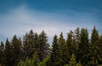 green larch trees