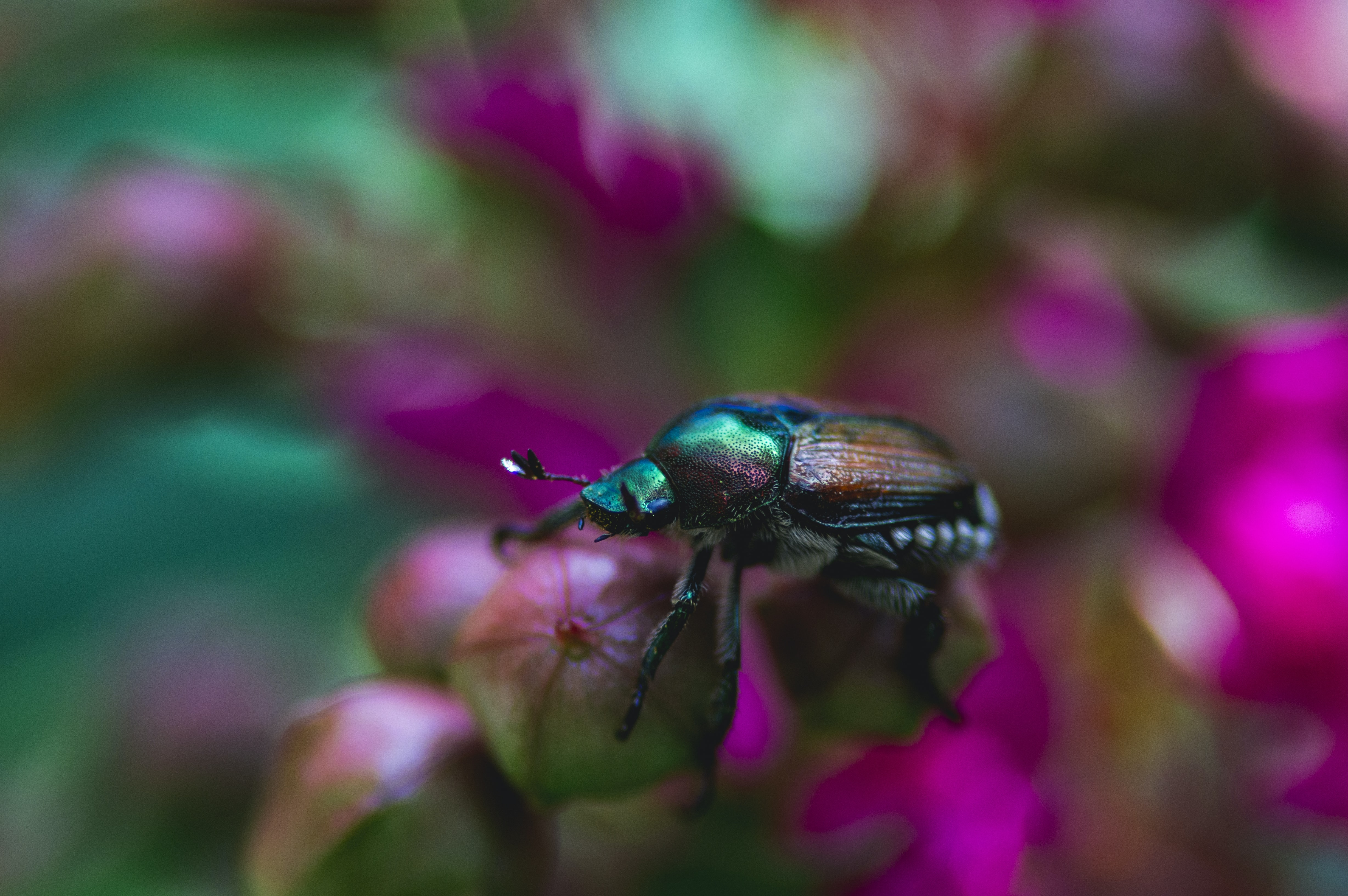 shallow focus photography of black and green bug on pink flower
