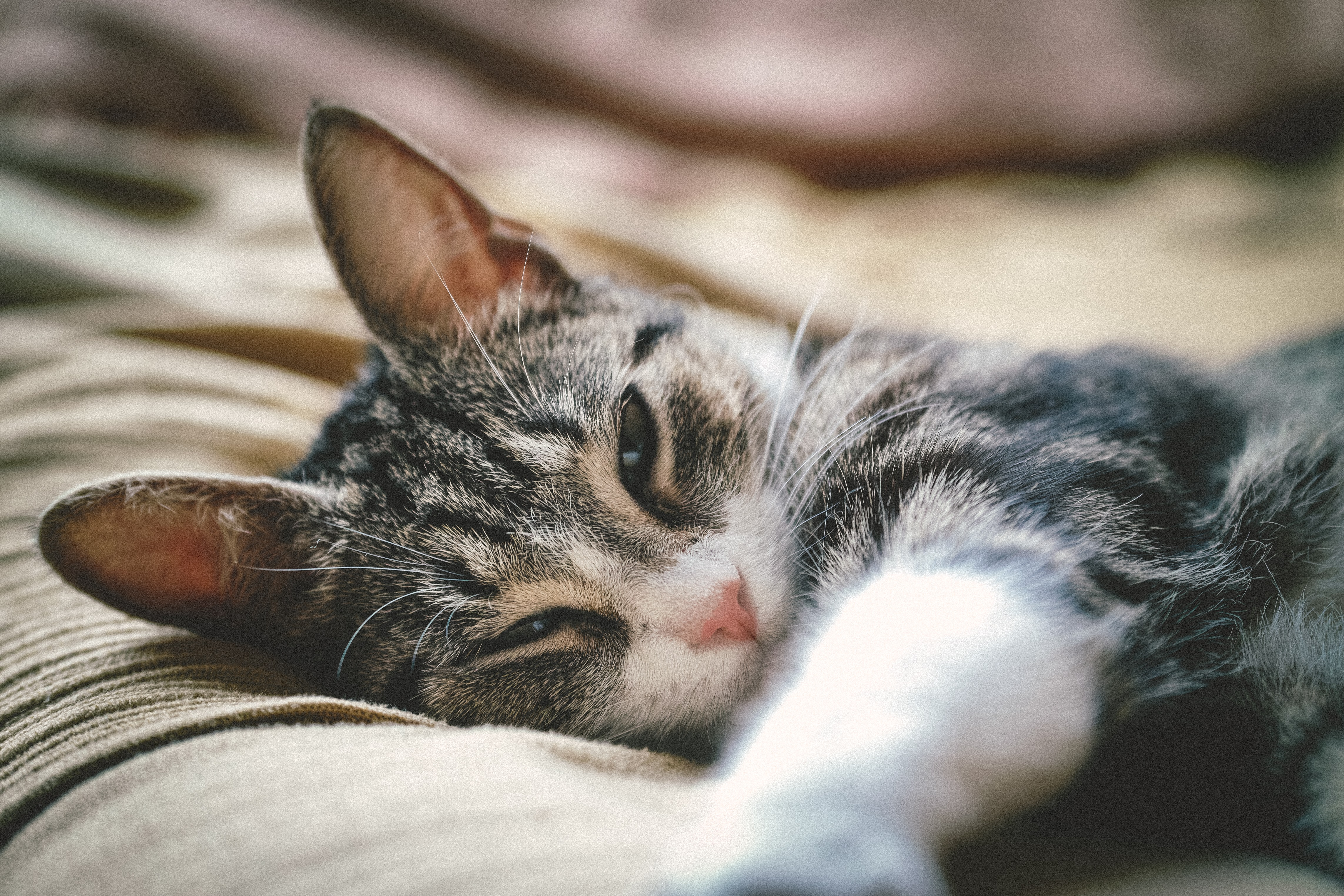 close up photography of tabby cat lying on brown textile