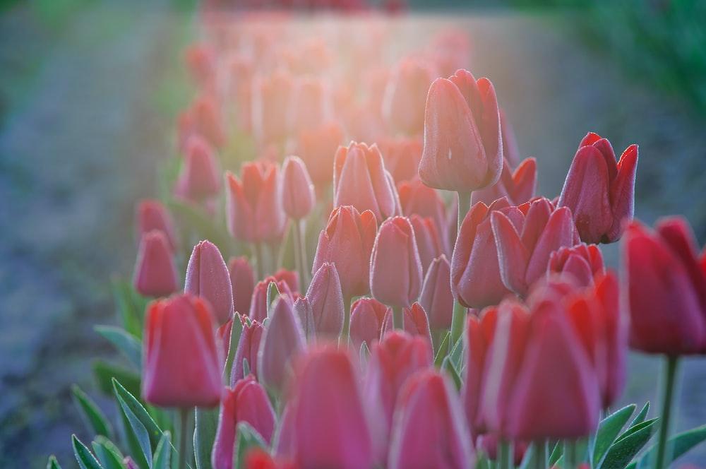 closeup photo of red tulip flowers