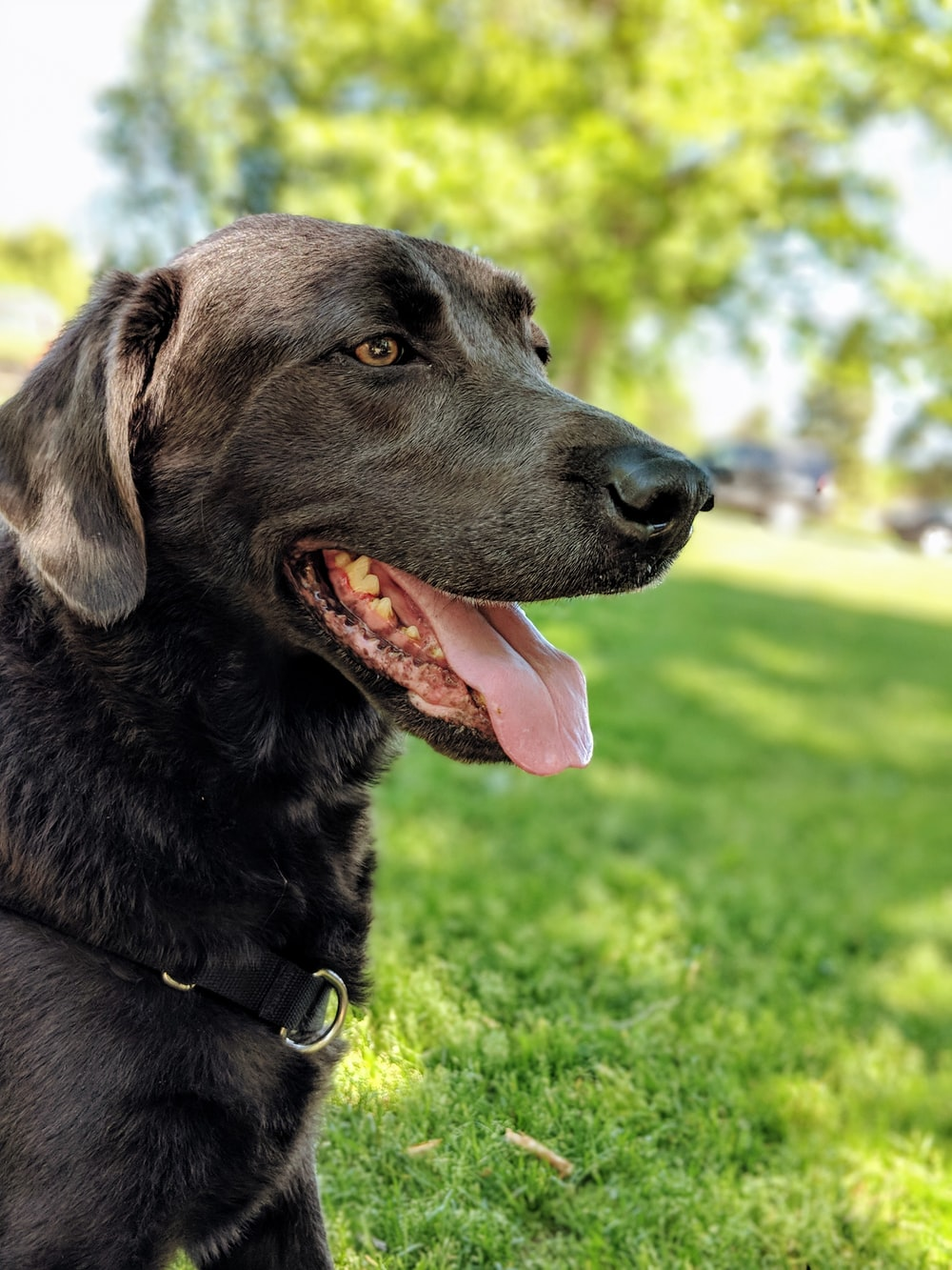 short-coated black dog showing his tongue