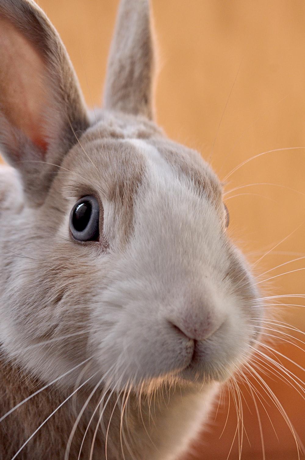 closeup photo of gray rabbit
