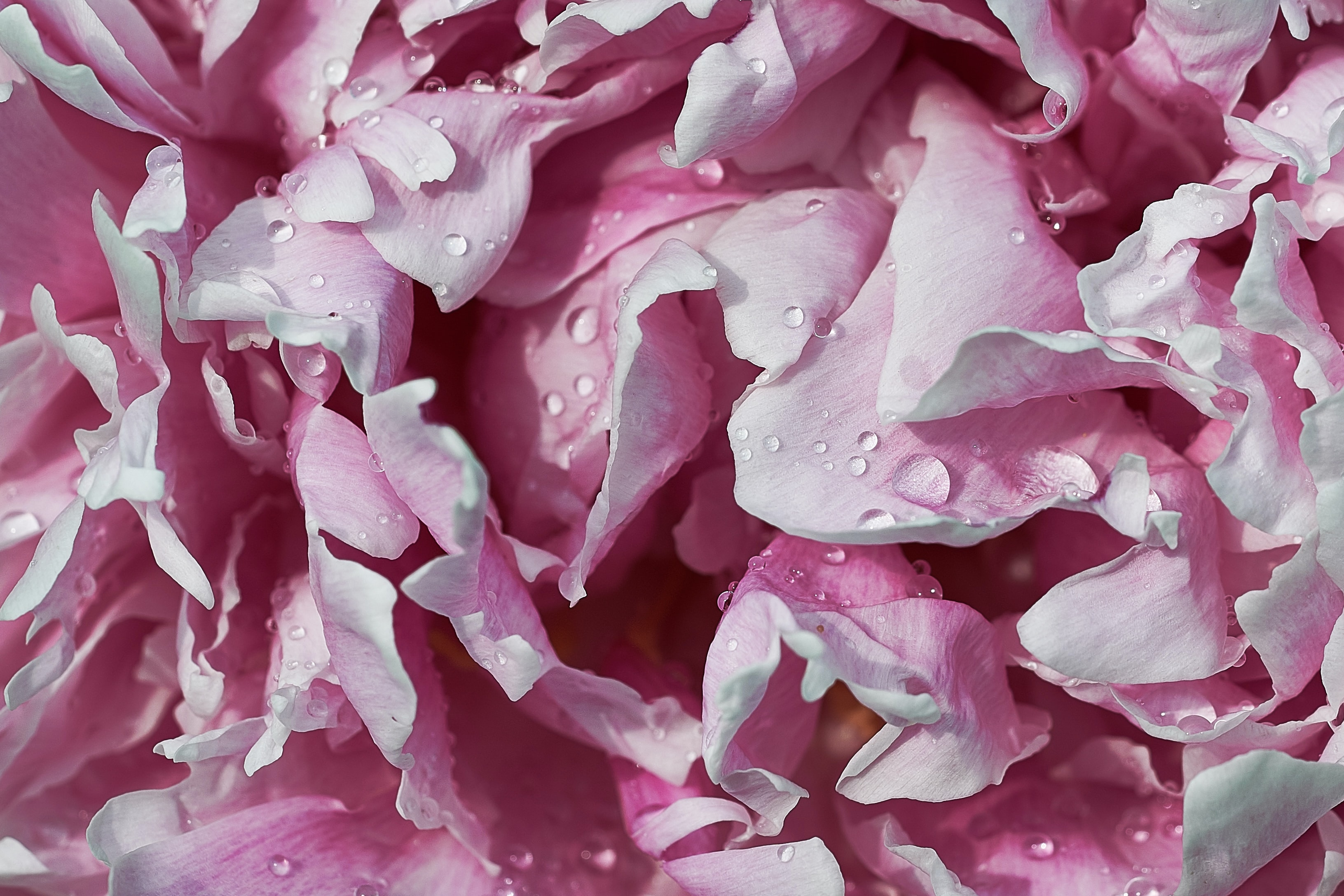 bunch of pink flower petals