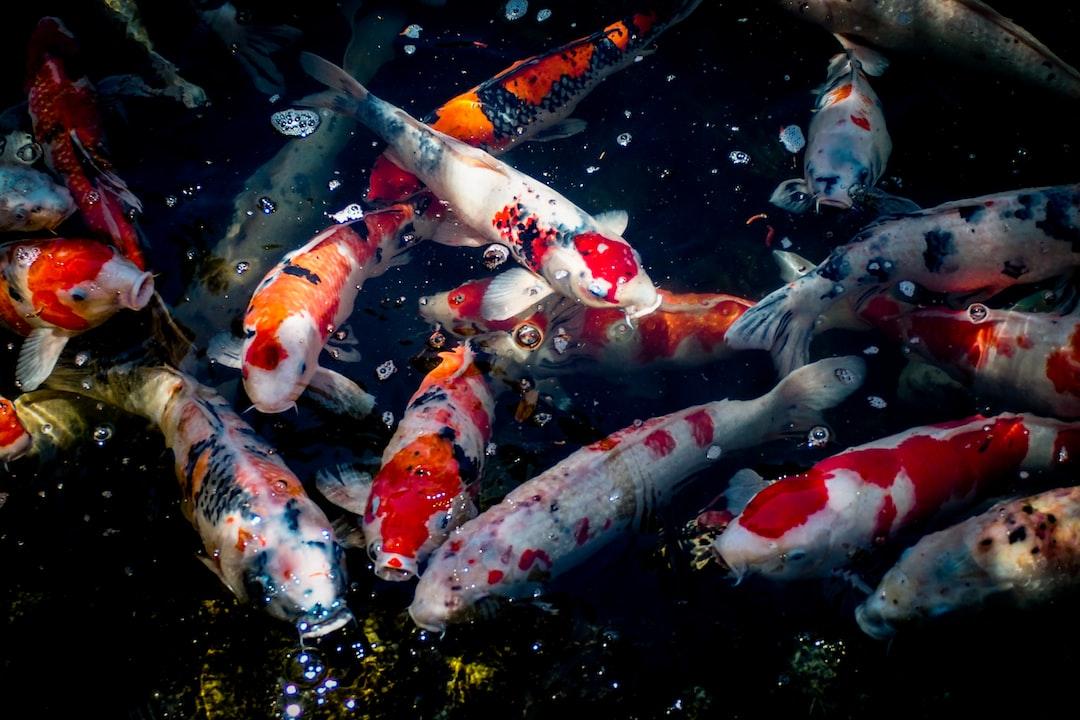 Rahasia Jenis Makanan Ikan Koi Untuk Warna Yang Lebih Cantik
