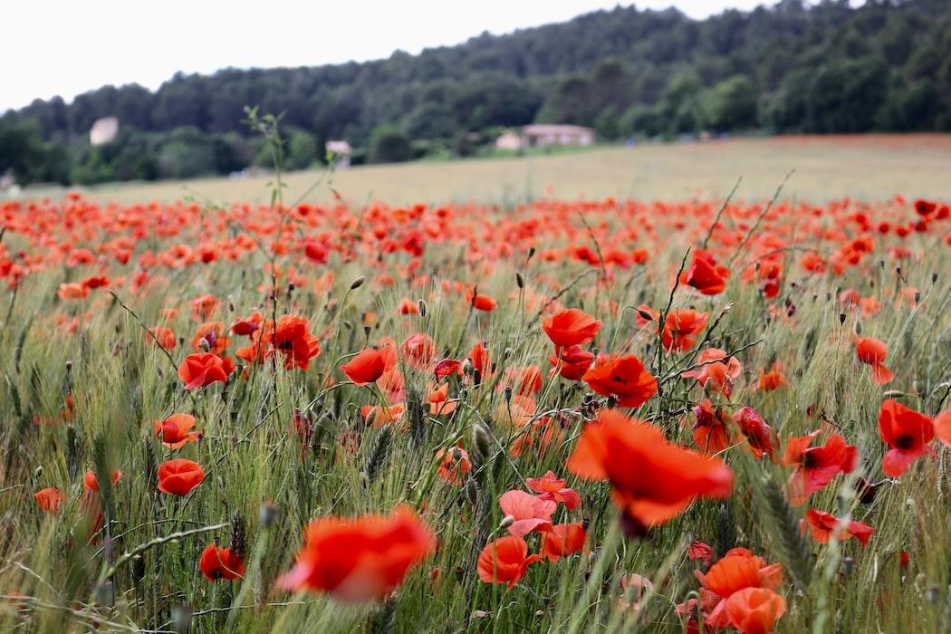 A field of poppy flowers