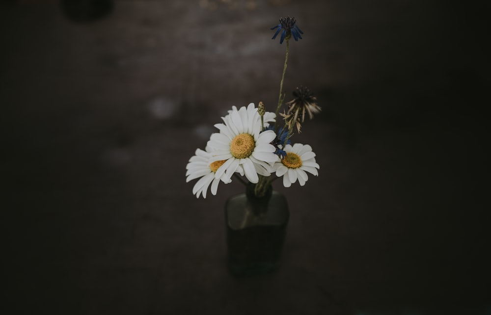 three white daisy flower