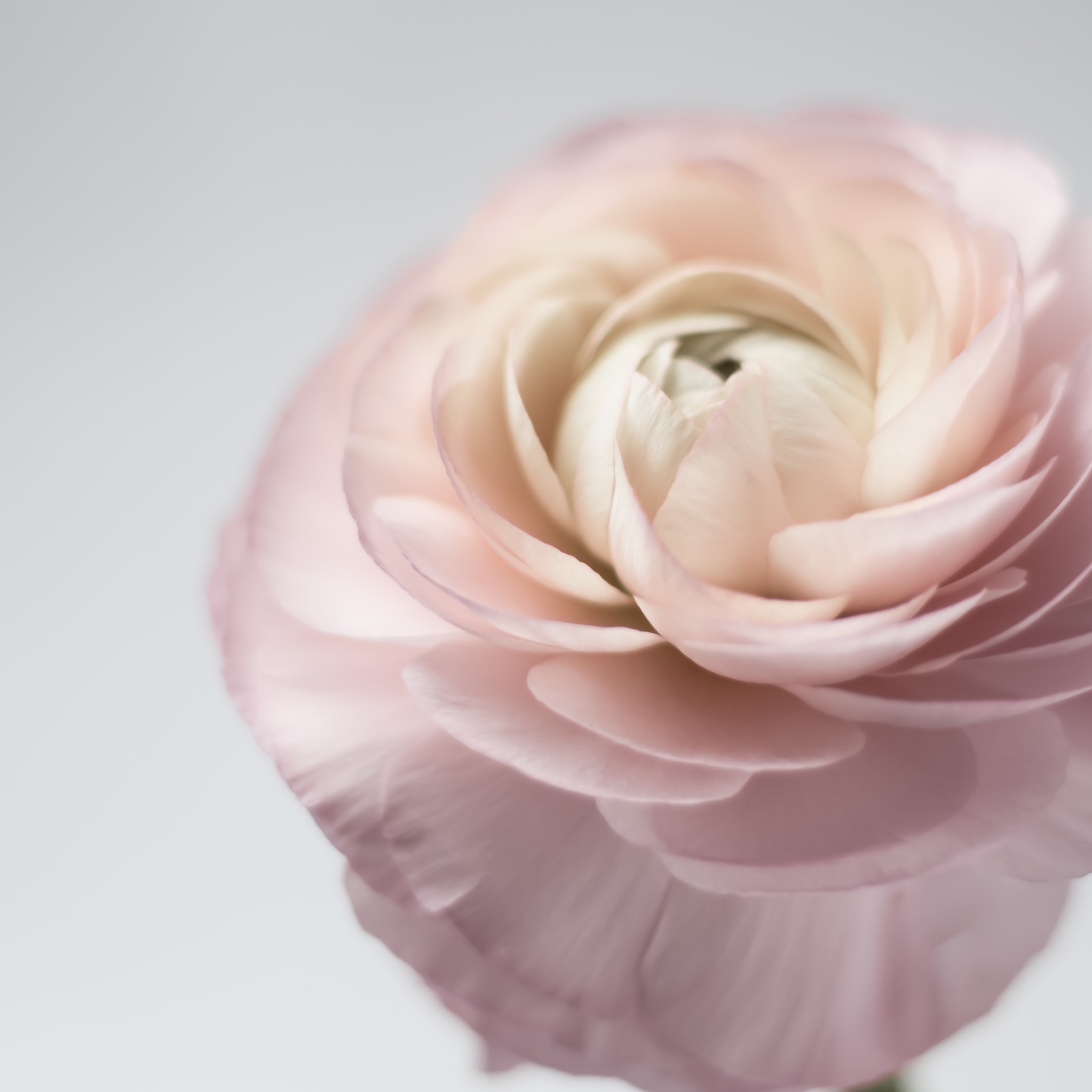 shallow focus photography of white-and-pink petaled flower
