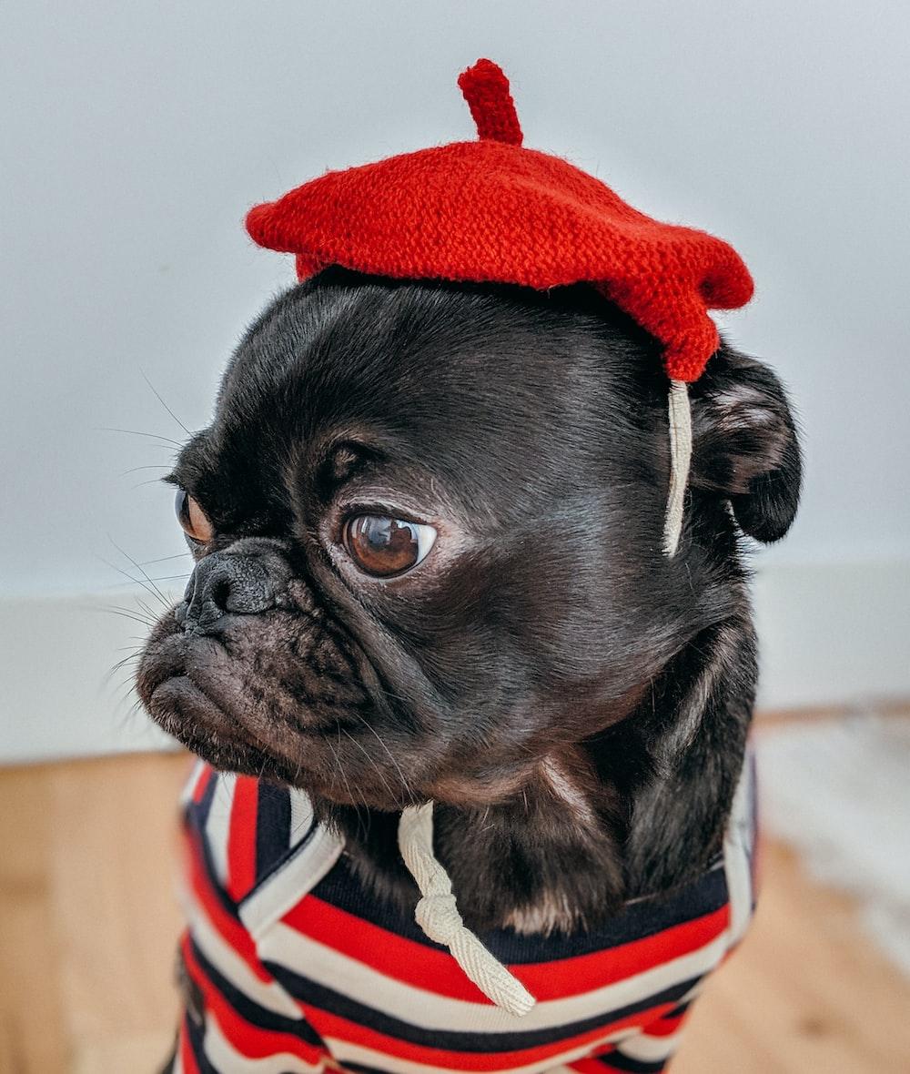 shallow focus photography of pug